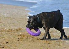 Rottweiler-Hund auf dem Sand durch das Meer spielt mit einem Spielzeug Stockfoto