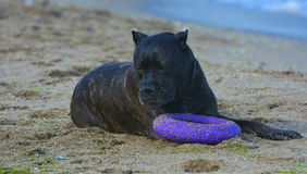 Rottweiler-Hund auf dem Sand durch das Meer spielt mit einem Spielzeug Stockbilder