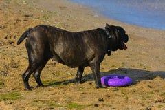 Rottweiler-Hund auf dem Sand durch das Meer spielt mit einem Spielzeug Lizenzfreies Stockbild