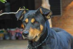 Rottweiler-Hund auf Natur Stockbilder