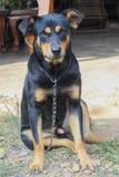 Rottweiler-Hund auf Natur Lizenzfreie Stockbilder