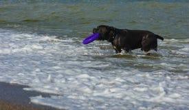 Rottweiler-Hund im Wasser auf dem Strand, der mit einem Spielzeug spielt Stockfoto