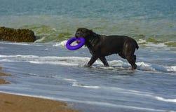 Rottweiler-Hund im Wasser auf dem Strand, der mit einem Spielzeug spielt Stockbilder