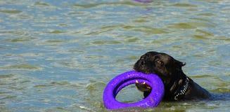 Rottweiler-Hund im Wasser auf dem Strand, der mit einem Spielzeug spielt Lizenzfreies Stockfoto