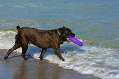 Rottweiler-Hund im Wasser auf dem Strand, der mit einem Spielzeug spielt Lizenzfreie Stockfotos
