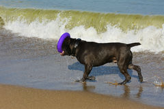 Rottweiler-Hund im Wasser auf dem Strand, der mit einem Spielzeug spielt Stockfotografie
