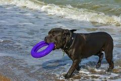 Rottweiler-Hund im Wasser auf dem Strand, der mit einem Spielzeug spielt Lizenzfreie Stockfotografie