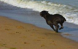 Rottweiler-Hund im Wasser auf dem Strand, der mit einem Spielzeug spielt Lizenzfreie Stockbilder