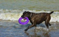 Rottweiler-Hund im Wasser auf dem Strand, der mit einem Spielzeug spielt Lizenzfreies Stockbild