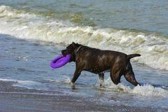 Rottweiler-Hund im Wasser auf dem Strand, der mit einem Spielzeug spielt Stockbild
