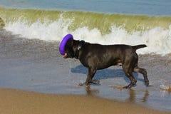 Rottweiler-Hund im Wasser auf dem Strand, der mit einem Spielzeug spielt Stockfotos
