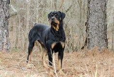 Rottweiler hund utomhus i trän, Georgia arkivfoton