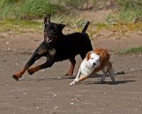 Rottweiler i breto?czyka psa spotkanie na pla?y fotografia royalty free