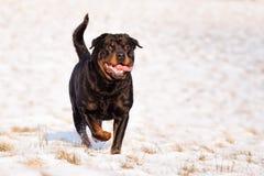 Rottweiler im Schnee Stockfoto