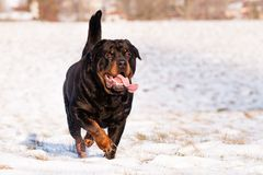 Rottweiler im Schnee Stockfotos