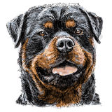 Rottweiler. Image of Rottweiler hand drawn vector Royalty Free Stock Image