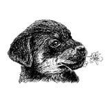 Rottweiler Stock Photos