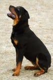 Rottweiler intrepido, testa in su Immagini Stock Libere da Diritti