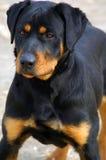 Rottweiler intrepido, testa in su Fotografie Stock