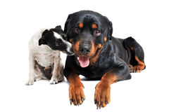 Rottweiler and jack russel terrier Stock Photography