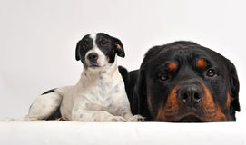 Rottweiler and jack russel terrier. Two friends dogs: rottweiler and jack russel terrier Royalty Free Stock Photo