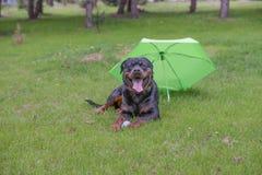 Rottweiler jest prześladowanym lying on the beach na zielonej trawie plenerowej Fotografia Stock