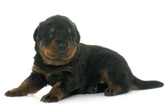 Rottweiler joven del perrito imagen de archivo