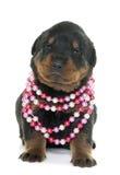 Rottweiler joven del perrito imagenes de archivo