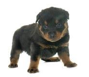 Rottweiler joven del perrito imagen de archivo libre de regalías