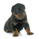 Rottweiler joven del perrito foto de archivo