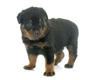 Rottweiler joven del perrito fotos de archivo