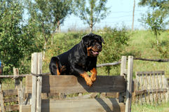 Rottweiler. A rottweiler in jumping over obstacles Stock Image