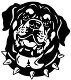 Rottweiler kierowniczy czarny biel Zdjęcia Royalty Free