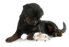 Rottweiler and kitten exotic shorthair Stock Images