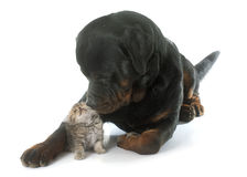 Rottweiler and kitten exotic shorthair Royalty Free Stock Photos