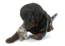 Rottweiler and kitten exotic shorthair Stock Images