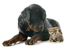 Rottweiler and kitten Stock Image