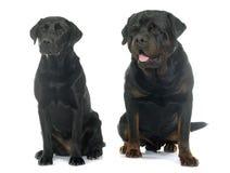 Rottweiler and labrador retriever Stock Photography