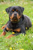 Rottweiler laying royalty free stock photo