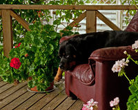 Rottweiler laying on armchair Royalty Free Stock Photography