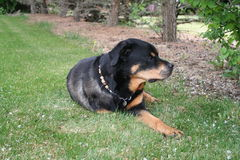 Rottweiler laying on grass. Dog laying on the grass in a yard Stock Photos