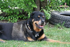 Rottweiler laying on grass. Dog laying on the grass in a yard with one leg Stock Image