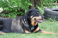 Rottweiler laying on grass. Dog laying on the grass in a yard with one leg Royalty Free Stock Photos