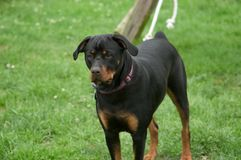 Rottweiler on a leash Royalty Free Stock Image