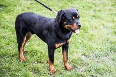 Rottweiler on a leash Stock Photos