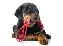 Rottweiler and leash. Portrait of a purebred puppy rottweiler with leash in front of white background Stock Images