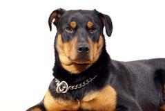 Rottweiler lindo Pincher foto de archivo libre de regalías