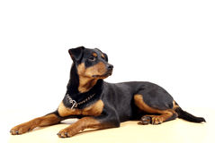 Rottweiler lindo Pincher Foto de archivo
