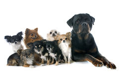 Rottweiler and little dogs royalty free stock images
