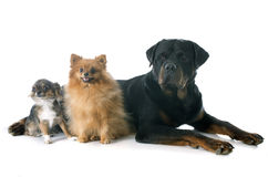 Rottweiler and little dogs Royalty Free Stock Photo